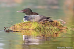 Common-loon;loon;Gavia-immers;baby;reflection;nest;Littleton;NH;sunrise;NH;D4