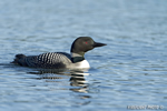 Common-loon;loon;Gavia-immers;Squam-Lake;Lakes-Region;Holderness;NH;D4