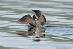 Common-loon;loon;Gavia-immers;Squam-Lake;Lakes-Region;wing-flap;Holderness;NH;D4
