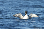Common-loon;loon;Gavia-immers;Squam-Lake;Lakes-Region;wing-stretch;Holderness;NH;D4