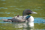 Common-loon;loon;Gavia-immers;Squam-Lake;Lakes-Region;chick;baby;Holderness;NH;D4s