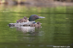 Common-loon;loon;Gavia-immer;Baby;Partridge-Lake;Littleton;NH