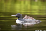 Common-loon;loon;Gavia-immer;Baby;Partridge-Lake;Littleton;NH;D3X