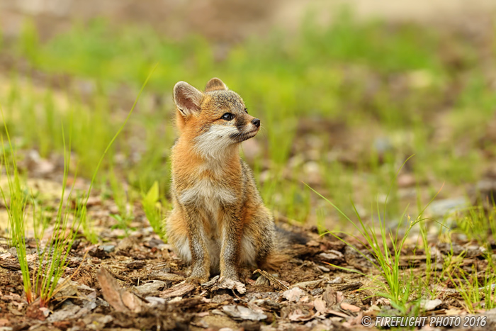 wildlife;Fox;Gray Fox;Urocyon cinereoargenteus;Kit;Pup;Grey;Grass;Littleton;NH;D5;2016