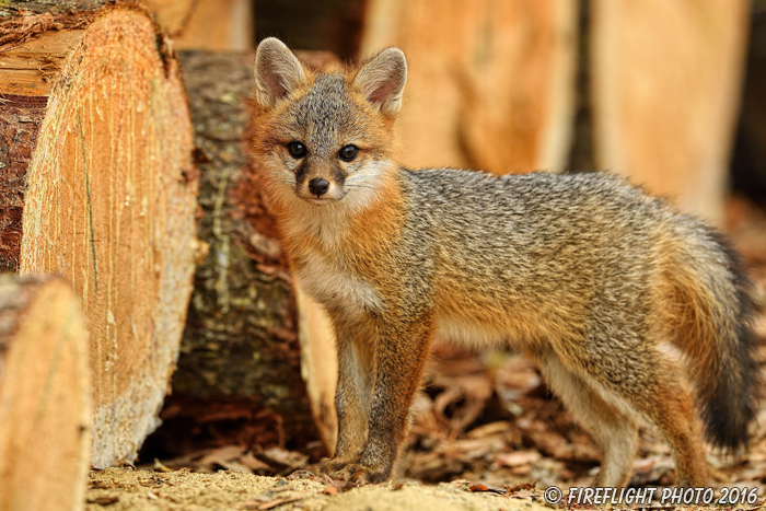 wildlife;Fox;Gray Fox;Urocyon cinereoargenteus;Kit;Pup;Grey;log;Littleton;NH;D5;2016
