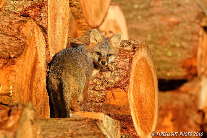 wildlife;Fox;Gray Fox;Urocyon cinereoargenteus;Kit;Pup;Grey;log;Littleton;Sunset;NH;D5;2016