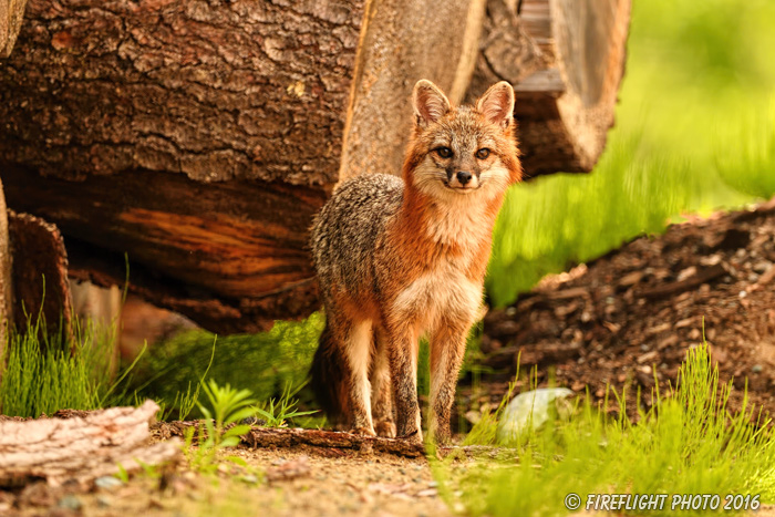 wildlife;Fox;Gray Fox;Urocyon cinereoargenteus;Grey;log;Littleton;Sunset;NH;D5;2016