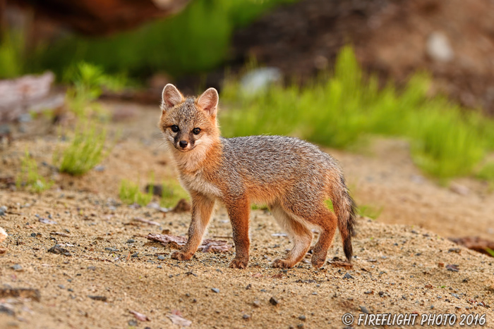 wildlife;Fox;Gray Fox;Urocyon cinereoargenteus;Kit;Pup;Grey;Sand;Littleton;NH;D5;2016
