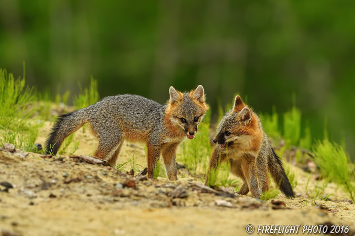 wildlife;Fox;Gray Fox;Urocyon cinereoargenteus;Kit;Pup;Grey;fight;fighting;Littleton;NH;D5;2016