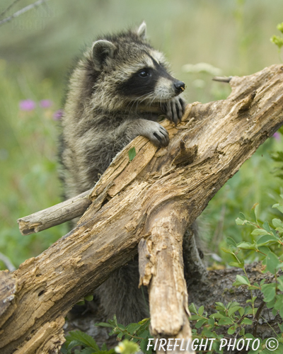 wildlife;raccoon;Procyon Lotor;raccoon baby;tree stump;Montana
