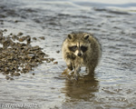 wildlife;raccoon;Procyon-Lotor;raccoon-baby;creek;Montana
