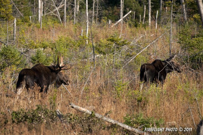 wildlife;Bull Moose;Moose;Cow;Alces alces;Bog;Berlin;NH;D3X;2011