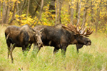wildlife;Bull-Moose;Moose;Alces-alces;cow;hook;kissing;Anchorage;Alaska;AK;D5;2016
