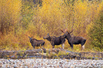 wildlife;Bull-Moose;Moose;Alces-alces;Gros-Ventre;cow;Grand-Teton;WY;D4;2013