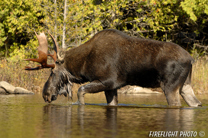 wildlife;Bull Moose;Moose;Alces alces;Pond;Maine;ME;Greenville