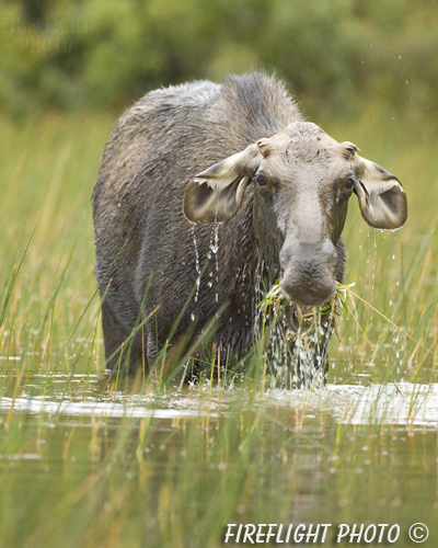 wildlife;Bull Moose;Moose;Alces alces;Pond;Maine;ME;Greenville;grass