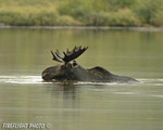 wildlife;Bull-Moose;Moose;Alces-alces;Pond;Maine;ME;Greenville