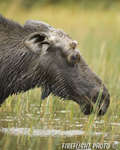 wildlife;Bull-Moose;Moose;Alces-alces;Pond;Maine;ME;Greenville;grass