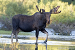 wildlife;Bull-Moose;Moose;Alces-alces;pond;Grand-Teton;WY;D4;2012