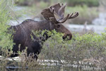 wildlife;Bull-Moose;Moose;Alces-alces;pond;Grand-Teton;WY;Wyoming;D4;2012