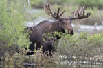 wildlife;Bull-Moose;Moose;Alces-alces;Sagebrush;pond;Grand-Teton;WY;D4;2012