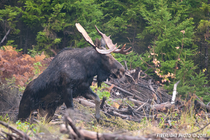 wildlife;Bull Moose;Moose;Alces alces;Clearcut;Berlin;NH;D3X;2011