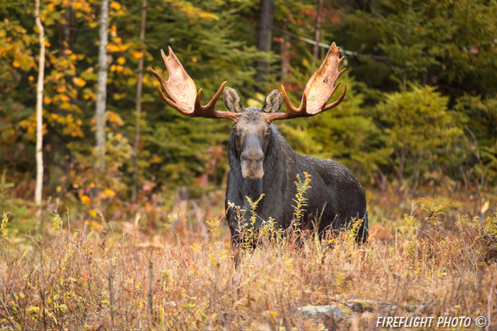 wildlife;Bull Moose;Moose;Alces alces;clear cut;Easton;NH;D4s;2014