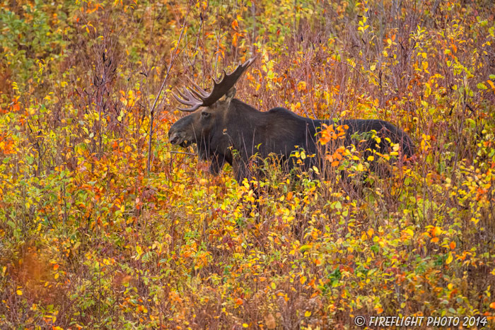 wildlife;Bull Moose;Moose;Alces alces;back roads;Berlin;NH;D4s;2014