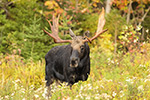 wildlife;Bull-Moose;Moose;Alces-alces;Foliage;Northern-NH;NH;D5;2017