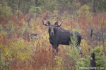 wildlife;Bull-Moose;Moose;Alces-alces;Bog;Rain;Berlin;NH;D3X;2011