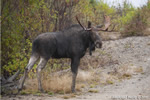 wildlife;Bull-Moose;Moose;Alces-alces;Gravel;Berlin;NH;D3X;2011