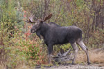 wildlife;Bull-Moose;Moose;Alces-alces;Gravel;Back-roads;Berlin;NH;D3X;2011
