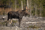 wildlife;Bull-Moose;Moose;Alces-alces;Clearcut;Berlin;NH;D3X;2011
