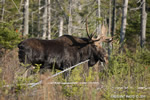 wildlife;Bull-Moose;Moose;Alces-alces;Woods;Berlin;NH;D3X;2011
