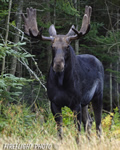 wildlife;Bull-Moose;Moose;Alces-alces;route-3;velvet;New-Hampshire;NH