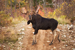 wildlife;Bull-Moose;Moose;Alces-alces;back-roads;Berlin;NH;D4s;2014