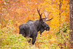 wildlife;Bull-Moose;Moose;Alces-alces;Maine;ME;Foliage