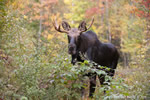 wildlife;Bull-Moose;Moose;Alces-alces;Clearcut;Foliage;Sugarhill;NH;D3X;2011