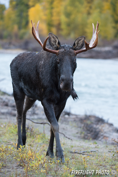 wildlife;Bull Moose;Moose;Alces alces;Snake River;foliage;river;Grand Teton;WY;D4;2013