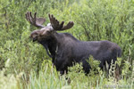 wildlife;Bull-Moose;Moose;Alces-alces;wetlands;Jackson-Hole;Wyoming;WY;D4;2012