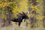 wildlife;Bull-Moose;Moose;Alces-alces;Gros-Ventre;Cottonwoods;Grand-Teton;WY;D4;2013