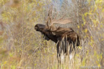 wildlife;Bull-Moose;Moose;Alces-alces;Snake-River;foliage;Grand-Teton;WY;D4;2013