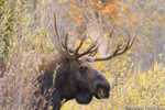 wildlife;Bull-Moose;Moose;Alces-alces;Snake-River;head-shot;foliage;Grand-Teton;WY;D4;2013