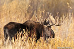 wildlife;Bull-Moose;Moose;Alces-alces;Foliage;Gros-Ventre;Grand-Teton;WY;D4;2012
