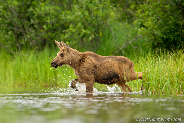 wildlife;calf Moose;Moose;Alces alces;Lake;Water;North Maine;ME;D4s;2015