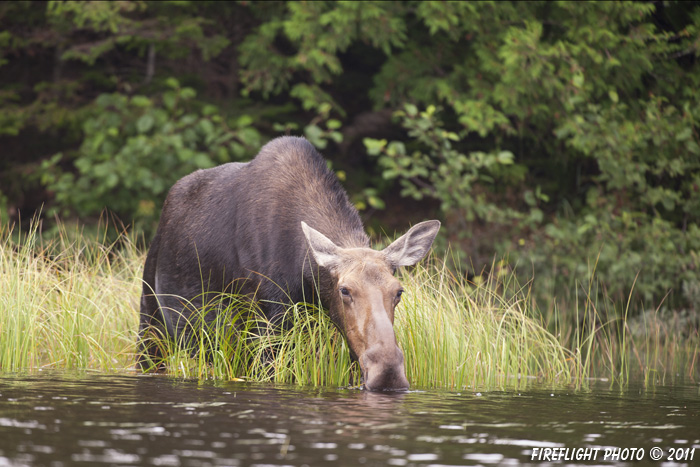wildlife;Moose;Alces alces;Pond;Grass;Maine;ME;Cow Moose;Cow;Greenville;D3X