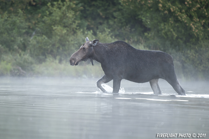 wildlife;Moose;Alces alces;Pond;Fog;Maine;ME;Cow Moose;Cow;Greenville;D3X