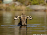 wildlife;Cow-Moose;Moose;Alces-alces;Pond;Cow;Maine;ME;Greenville