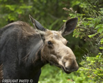 wildlife;Cow-Moose;Moose;Alces-alces;Cow;Errol;New-Hampshire;NH