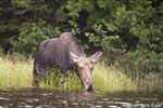 wildlife;Moose;Alces-alces;Pond;Grass;Maine;ME;Cow-Moose;Cow;Greenville;D3X